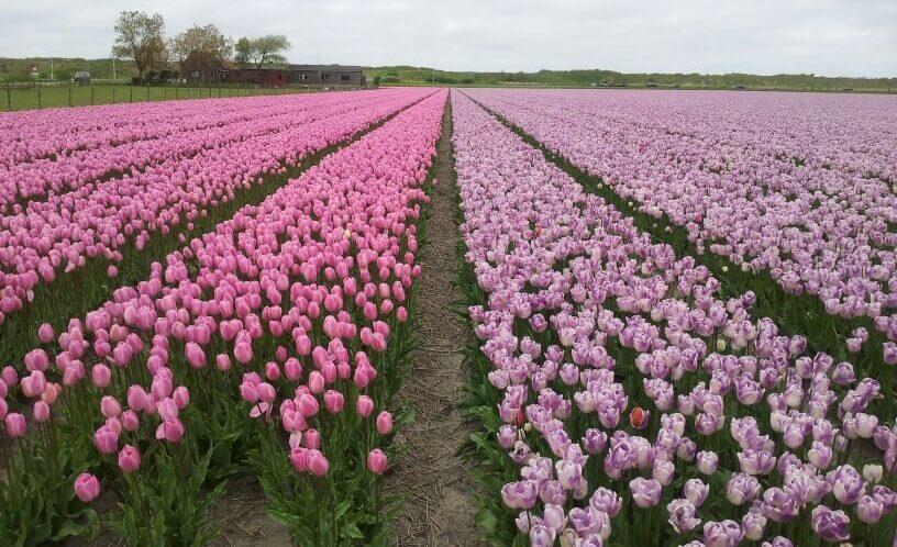 Tulpenfelder Sint Maartenszee